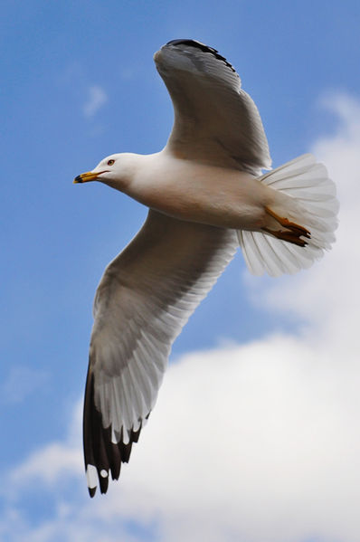 398px-Seagull_in_flight_by_Jiyang_Chen