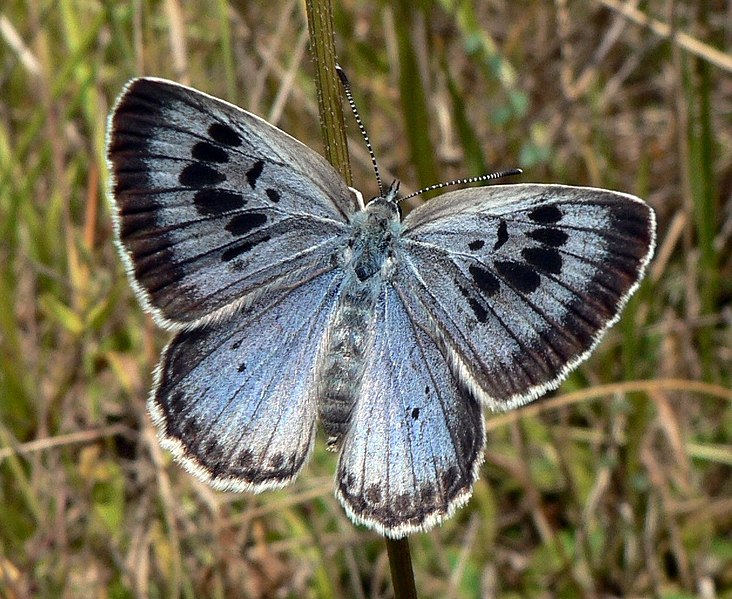 732px-Maculinea_arion_Large_Blue_Upperside_SFrance_2009-07-18