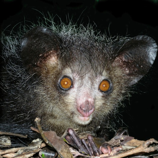 Aye-aye_at_night_in_the_wild_in_Madagascar.jpg