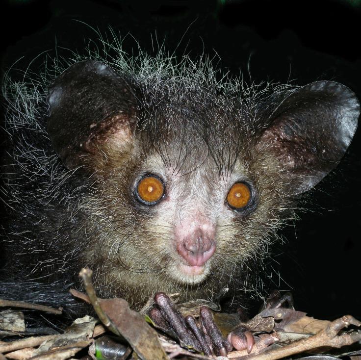 Aye-aye_at_night_in_the_wild_in_Madagascar.jpg