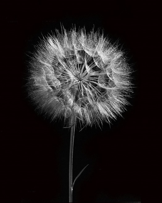 dandelion-1956951_1920.jpg