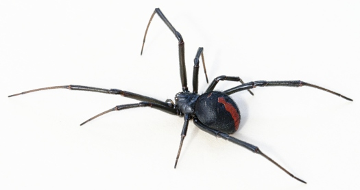 Latrodectus_hasseltii_close