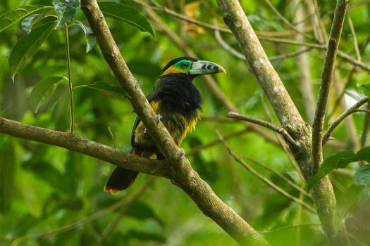 Selenidera_maculirostris_-Brazil_-male-8.jpg