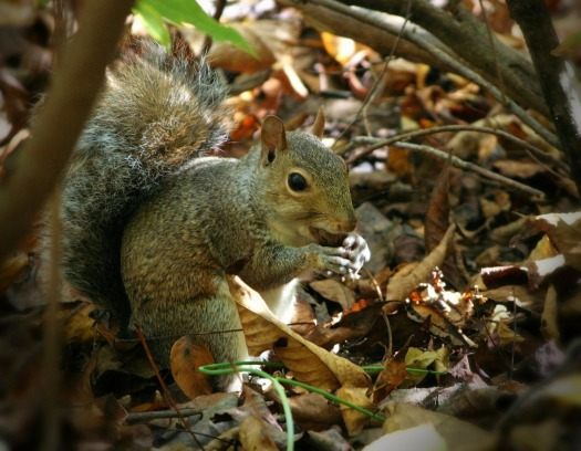 squirrel-61231_1920