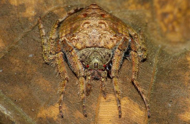 Wrap-around_Spider_(Dolophones_sp.)_(8728157059).jpg