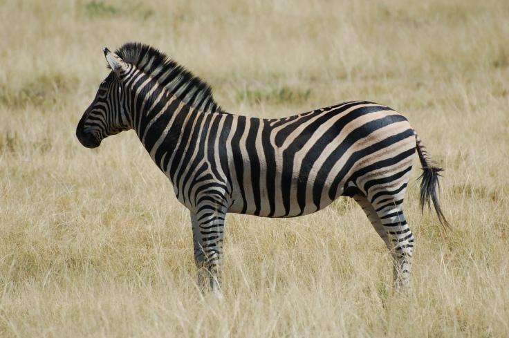 zebra-.jpg