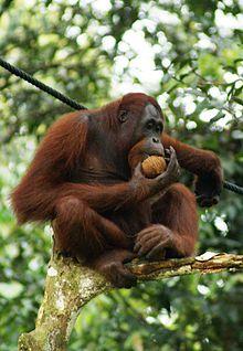 220px-Orang_Utan,_Semenggok_Forest_Reserve,_Sarawak,_Borneo,_Malaysia