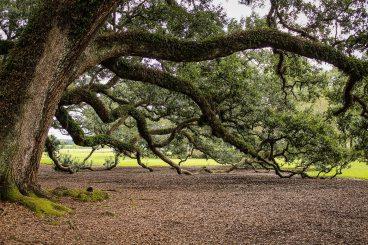 virginia-live-oak-southern-live-oak-oak-tree-tree-branches-51329