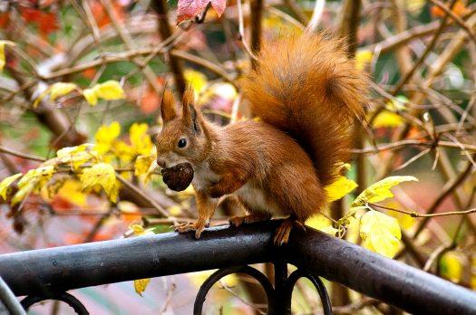 ginger-squirrel-16484