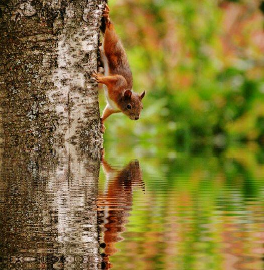 squirrel-water-mirroring-nager-158258