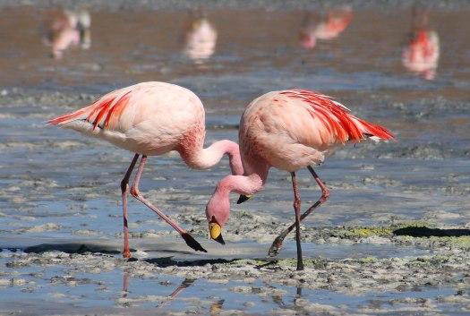 Flamingos_Laguna_Colorada