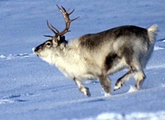 Spitsbergen_reindeer01