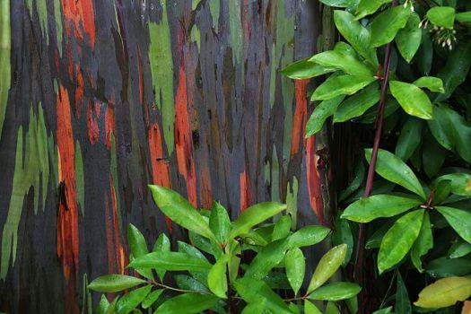 640px-Rainbow_Eucalyptus_Maui