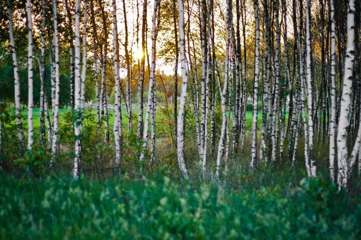 sunset-forest-woods-birch(1).jpg