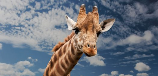 giraffe-animal-funny-facial-expression-39504(1)