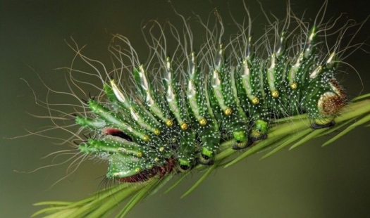 content_c6-Image--by-Igor-Siwanowicz.-The-Chinese-Comet-Moth-Caterpillar.-.jpg