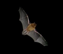 Pipistrellus_flight2